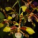 Rossioglossum Rawdon Jester – Alex Nadzan