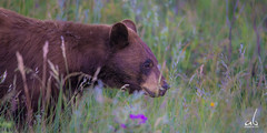 Black Bear (anoopbrar) Tags: bear wildlife banff blackbear waterton