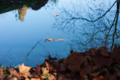 Floating (Melvinia_) Tags: autumn reflection tree nature water leaves automne 50mm canal leaf eau bokeh surface reflet reverse arbre feuilles feuille flottant canoneos450d digitalrebelxsi