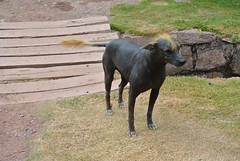 DSC_5587 (ktannelee) Tags: dog peru peruvian