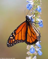 Monarch climbing (v4vodka (back in Poland)) Tags: butterfly insect lepidoptera monarch milkweed wanderer monarchbutterfly danausplexippus motyl milkweedbutterfly commontiger blackveinedbrown