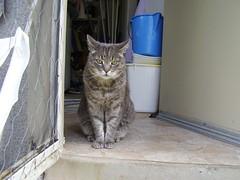 Charlie (Matilda&Charlie&Josie ~ MCJ) Tags: cat charlie 9yo greybluecreamtabby