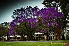 Aquinas College, Salter Point, Western Australia (3AbroadPhotography) Tags: november jacarandatree 2015 aquinascollege
