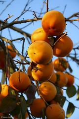 Autumn fruits : Diospyros kaki (Marco Ottaviani on/off) Tags: autumn plants nature fruits canon natura piante autunno kako caco frutti diospyros diospyroskaki ebenaceae marcoottaviani
