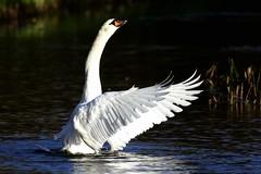_HNS6268 Knobbelzwaan : Cygne tubercule : Cygnus olor : Hockerschwan : Mute Swan