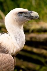 vulture close-up (jaypchances) Tags: portrait bird netherlands animal closeup zoo close vulture amersfoort dierentuin scavanger gier