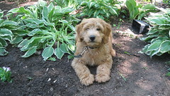 chester-gardening--hes-one-of-molly-and-chewy-boys-_4587643652_o
