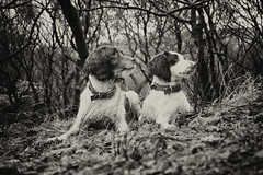 Mols and Rups in the wood! (Missy Jussy) Tags: mollie rupert dogwalk dogportrait dogs animal pets englishspringer springerspaniel spaniel woodland leaves trees mono monochrome blackwhite blackandwhite bw canon