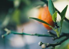 Antastic. (yahir.romero) Tags: ant animal insect small world green orange tree nature wild wildlife life buenosaires argentina blue verde vida insecto bug hormiga fruta fruit naranja mandarina salvaje savage nationalgeographic macro macrolife