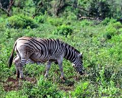 Hluhluwe-Imfolozi 004 (REBlue) Tags: southafrica kwazulunatalprovince hluhluweimfolozipark burchellszebra