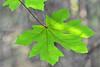 Bigleaf Maple (Leonel Richard) Tags: flora maple bigleaf acer