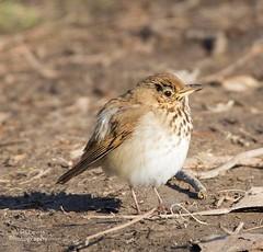 Hermit Thrush (jklewis4) Tags: nature bird birds outdoor hermit thrush detroit ensign dnr michigan