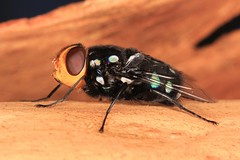IMG_8044(1) (Roving_photographer) Tags: snail parasite blowfly blow fly amenia albomaculata lanecove nationalpark sydney nsw australia