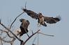 Bald Eagle's  1354 (robenglish64) Tags: bald eagles
