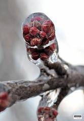New Beginnings (Steve Lindenman) Tags: branches ice storm winter matthews northcarolina usa cpmg0117sa lindenman macro