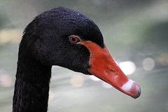 Memnuniyet (halukderinöz) Tags: siyah black kuğu swan hayvan animal kuş bird bucharest romania cismigiu cişmigiu park bahçe garden