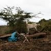 (lau_rie) Tags: dutchcaribbean caribbean statia goat leewardislands nature tree outdoors community local