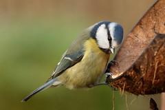 Bluetit thinking about it (david.england18) Tags: bluetit smallbirds various tits blue coal great queensparkheywood canon7d canonef300mmf4lisusm birdsuk