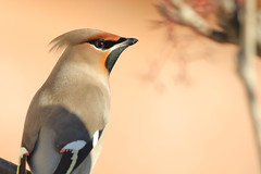 9P1A7607a, Bohemian Waxwing, Moston Manchester (Adrian Dancy) Tags: bird wildlife wildbird nature bohemianwaxwing bohemian waxwing winter migrant moston manchester brilliant wow crest