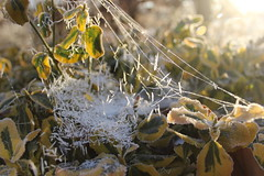 ice on web  sun highlighted (gerrygoal2008) Tags: light ray sun leaves web spider ice dendrites cristallographie crystallography arrengement order figures geometric frozen freeze low temperature winter cristal crystal organisation naturel nature