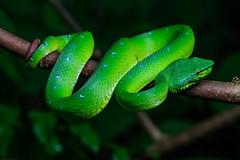 Green pit viper (Bryn Tassell) Tags: bako bakonationalpark borneo jungle mala malaysia tropical snake green pit viper