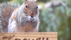 Eating with the rhythm of Bluegrass! (ineedathis,The older I get the more fun I have....) Tags: squirrel movie video clip easterngraysquirrel eating pecans trough sciurus treesquirrel sciuruscarolinensis animal critter nature winter furry garden nikond750 hff atlanticweepingcedar needles gray portrait posing outdoor whiskers mammal bluegrass alisonkrauss unionstation countrymusic song music