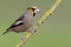 hawfinch- frosone (leonardo manetti) Tags: animale uccello allaperto wild wildlife nature bird birds animal animals nikon d810