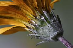 Un punto de vista diferente (hequebaeza) Tags: gazania rigens gazaniarigens naranja flor flower nikon d5100 nikond5100 ebcfujinon1450mm fujinon 50mm m42 tubosdeextensión macro hequebaeza