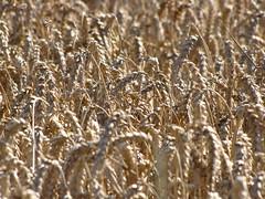 Weizen - wheat (elisabeth.mcghee) Tags: weizen weizenfeld wheat wheatfield