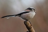 Long tailed tit (david.england18) Tags: longtailedtit smallbirds various tits blue coal great longtailed queensparkheywood canon7d canonef300mmf4lisusm birdsuk