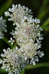 Oenanthe silaifolia. Narrow-leaved Water-dropwort. (All Botanical Photography) Tags: oenanthesilaifolia narrowleavedwaterdropwort dropwort apiaceae umbelliferae