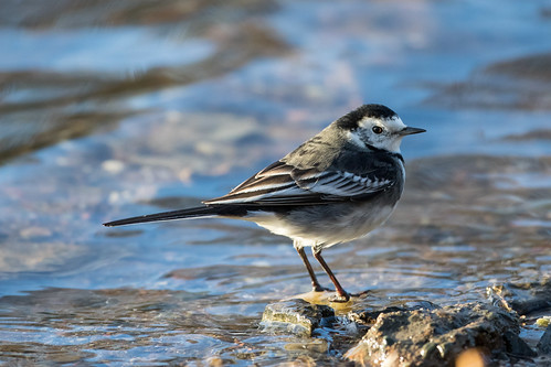 Wagtail by the Loch