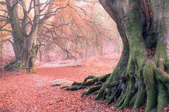 (Later) Autumn Beech Trees (Tom_Drysdale) Tags: wood freezing november winter mist frost autumn fog 2016 birnam murthly ice
