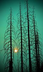 "dead-trees & smoke (E.R.M .""Give Peace a Chance"") Tags: hss sliderssunday"