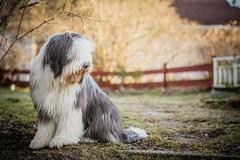 Floyd the Bearded puppy (Kasinfoto) Tags: 70200mmf28 tamron d610 nikon sweden arvika dogs dog puppy beardedcollie bearded