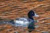 Goldeneye. (Gillian Floyd Photography) Tags: goldeneye duck reflections