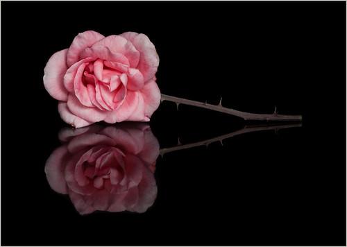 {Pink Rose on Black Tile}FCC121