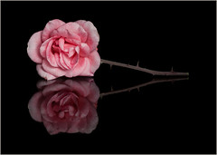 {Pink Rose on Black Tile}FCC121