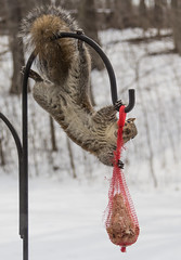 brazen larceny (otgpics) Tags: wildlife nature gymnastics foraging suet bag bird feeder winter agile gray squirrel gnawing adapting hungry hanging upside down