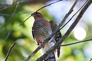 Sharp-Shinned Hawk_Subspecies Venator