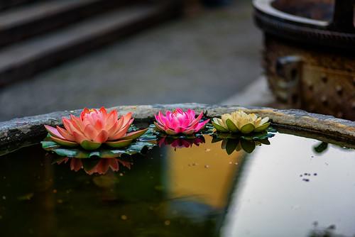 Tres lotos
