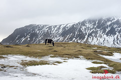 Horse & Icy Meadows (Max Michel Mann) Tags: animal beautiful cold cool environment equestrian farm freeze frost frosty grass horse ice icy isolated landscape lofoten mammal meadow natural nature nordic north norway outdoor panorama rural scandinavia season snow tourism travel weather white winter