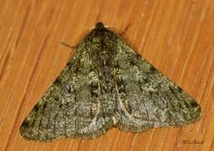 Pale Brindled Beauty - Phigalia pilosaria (stefanvanschaik) Tags: pale brindled beauty phigalia pilosaria