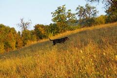 a vadász / the hunter (debreczeniemoke) Tags: dog grass meadow kutya earlyautumn frakk fű rét transylvanianhound erdélyikopó koraősz olympusem5