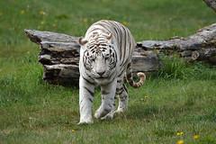 White Tiger (Chris_Jones.) Tags: white green nature grass animals cat outside log nikon tiger d3200