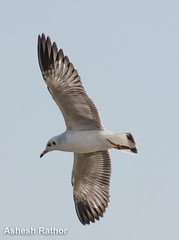 Brown headed gull (asheshr) Tags: bird gull brownheadedgull