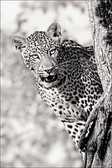 Leopard Lookout (ianweatherburn) Tags: africa bw tree monochrome young leopard botswana c4 mashatu ianweatherburn mrstickman