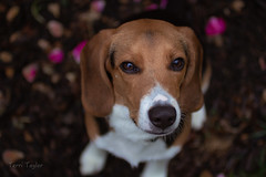 Murphy in the rose bushes (lit t) Tags: dog pet beagle rose outdoors petals naturallight week39 canon60d terridoaktaylor 52in2015