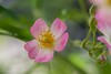 Bellerina (Yorkey&Rin) Tags: autumn macro rose japan october ballerina olympus 秋 kanagawa 庭 rin kawasaki 10月 inmygarden 2015 em5 バラ バレリーナ olympusm60mmf28macro pc237704