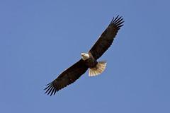 Eagle in Flight (G_Anderson) Tags: eagle flight bald